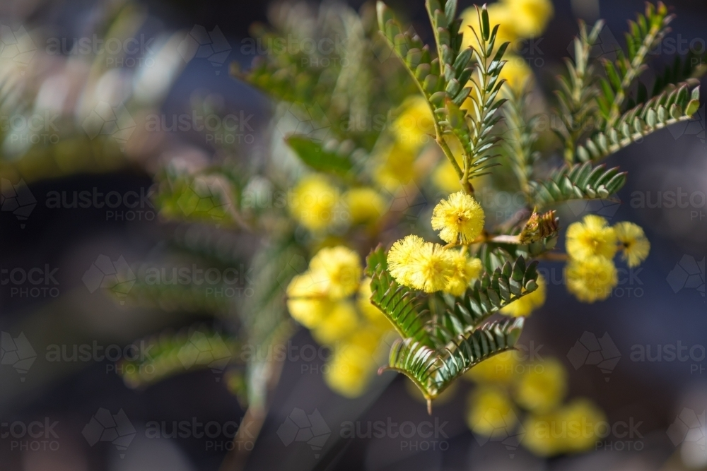 Wattle (Acacia terminalis) in early morning spring sunlight - Australian Stock Image