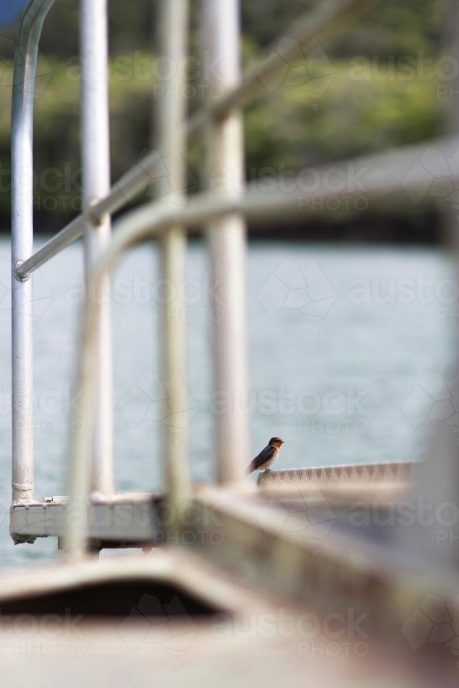 A bird sits on the deck of a wild life cruise along the Daintree river. - Australian Stock Image