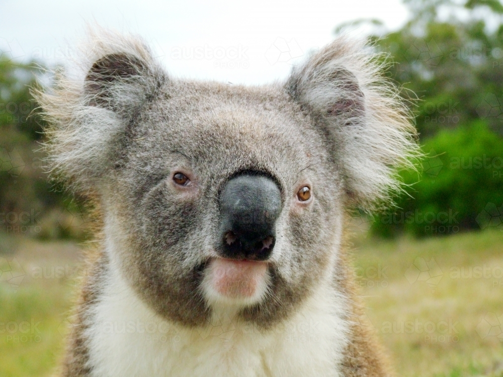 A close up of a koala - Australian Stock Image