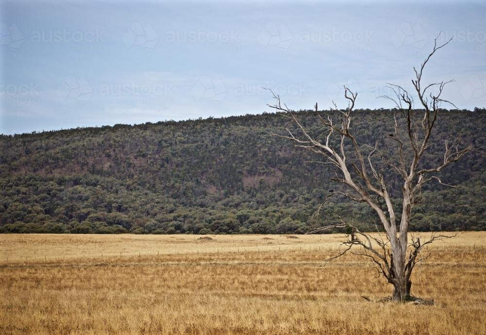 A dead tree sits in an golden open field - Australian Stock Image