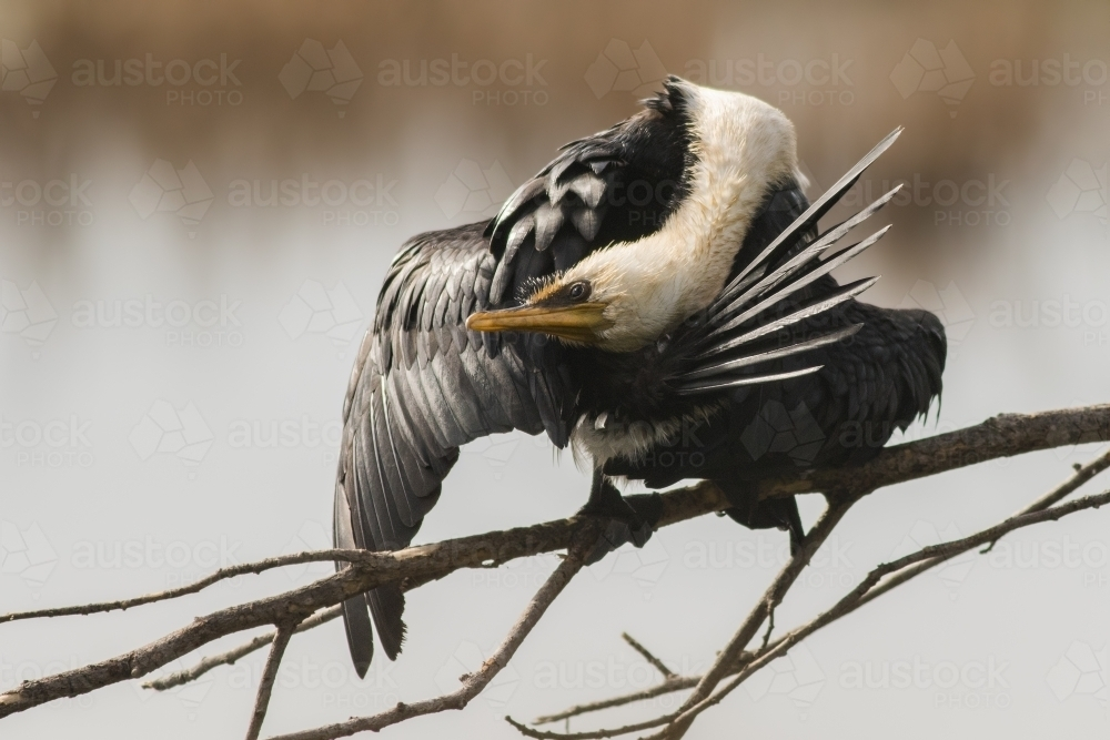 A Little Pied Cormorant grooming itself on a branch - Australian Stock Image