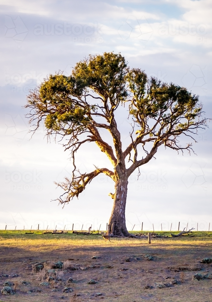 A lone tree stands against the sky - Australian Stock Image