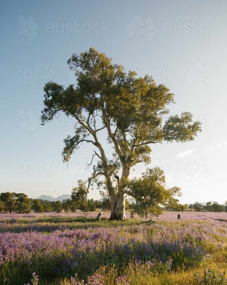 A man in the distance standing beside a huge gum tree in the bush - Australian Stock Image