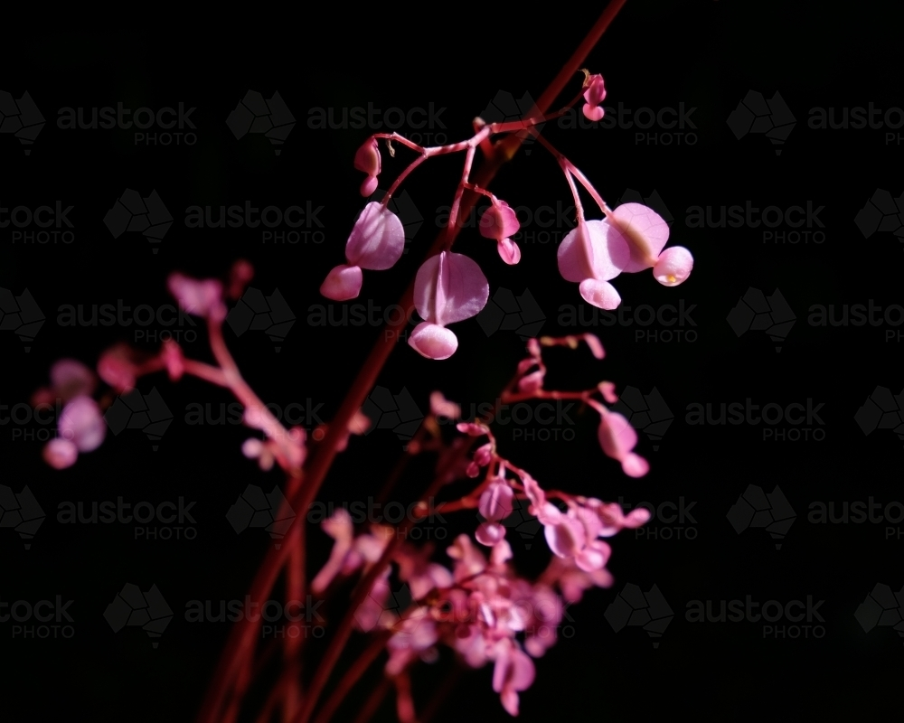 A pink plant in front of a black background - Australian Stock Image