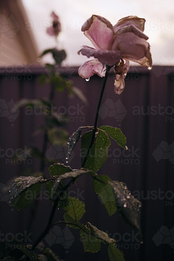 a rose just after winter rain - Australian Stock Image