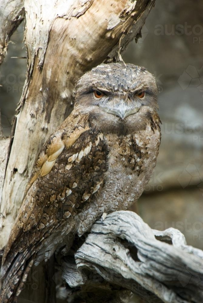 A Tawny Frogmouth on a Tree Branch - Australian Stock Image