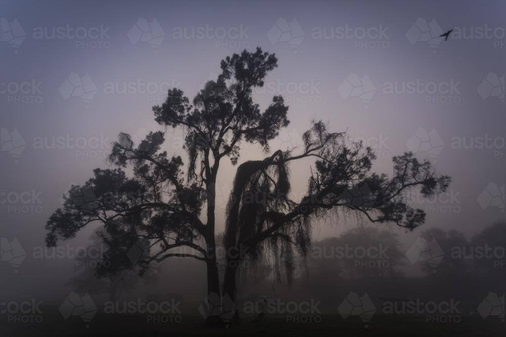 A tree in early morning fog - Australian Stock Image