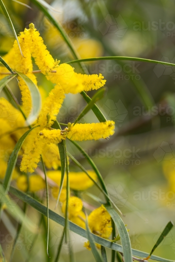 Image Of Acacia Acuminata Yellow Flowers Austockphoto