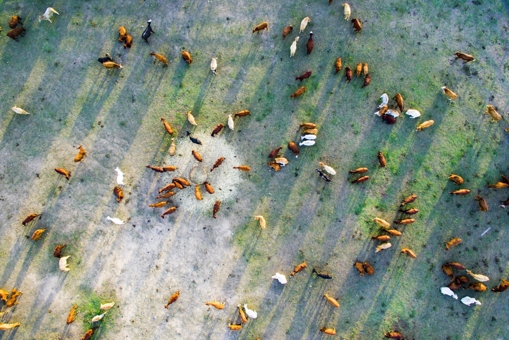 Aerial view looking down on cattle milling around a hay feeder - Australian Stock Image