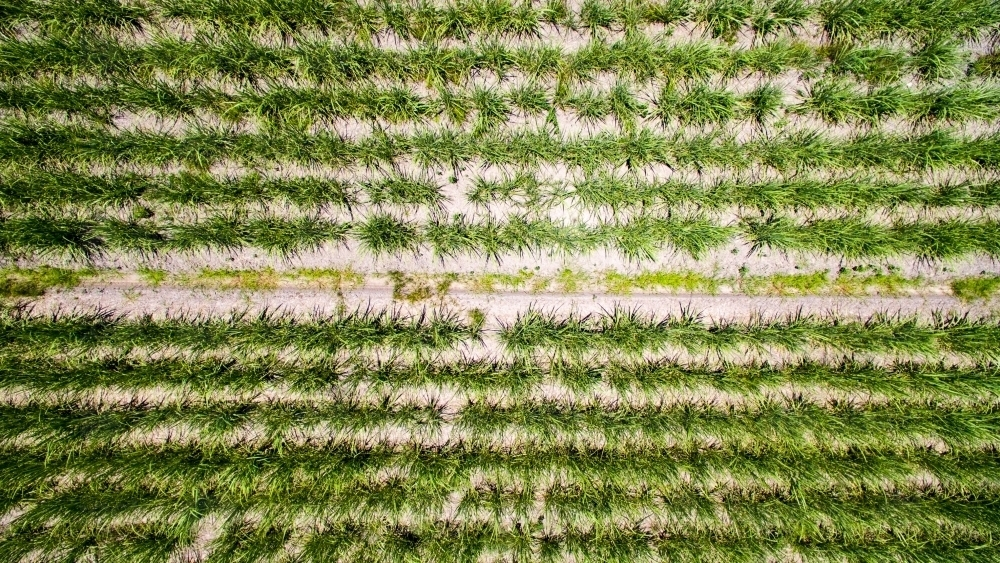 Aerial view of sugarcane plants growing on a farm on the Sunshine Coast of Queensland - Australian Stock Image