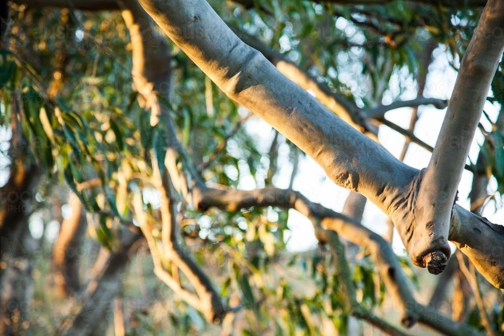 image of afternoon light shining on low gum tree branch and leaves