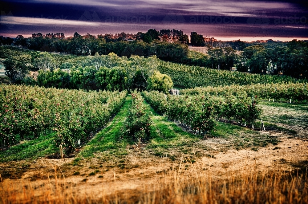 Apple orchard - Australian Stock Image