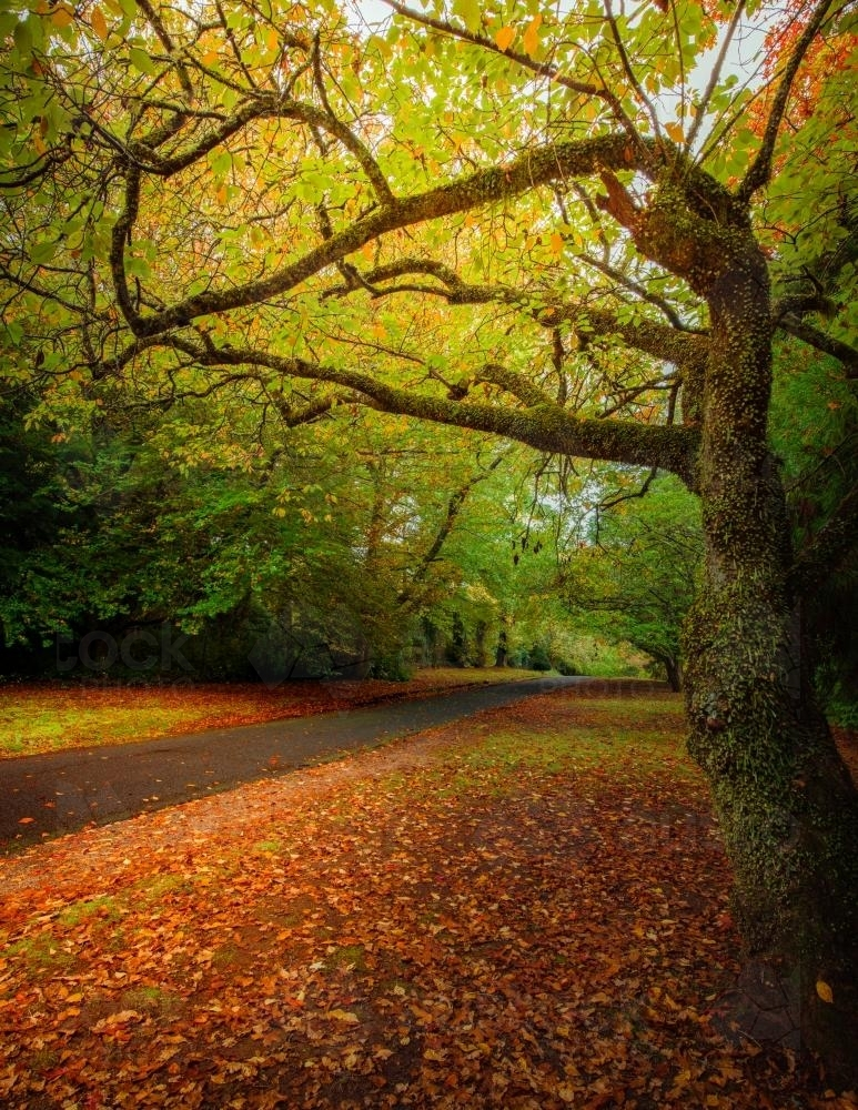 Autumn colours along The Avenue in Mt Wilson - Australian Stock Image