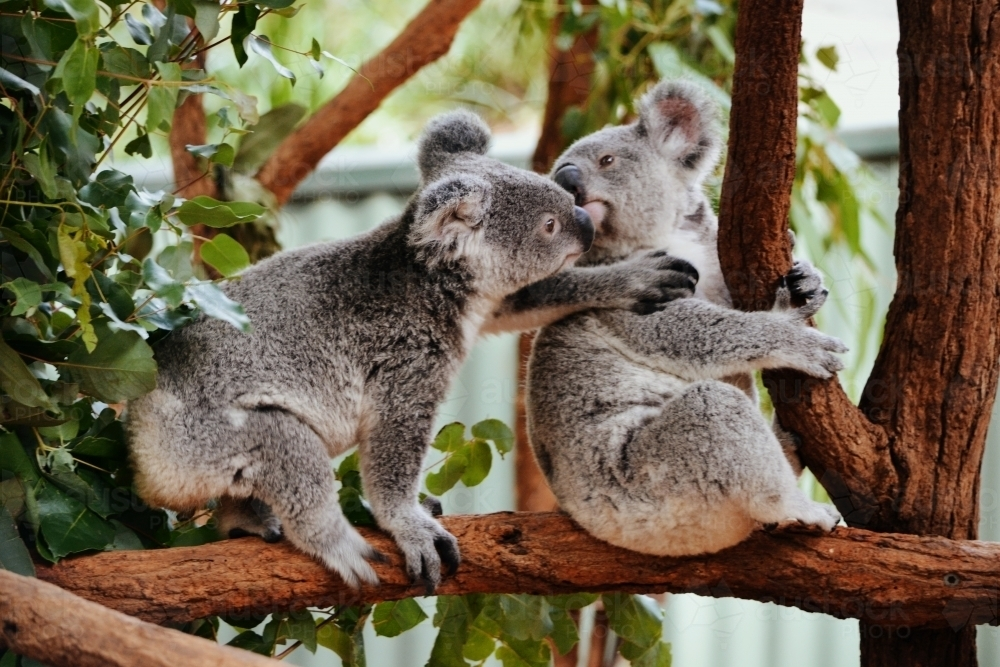 Baby Koalas fighting over a tree branch - Australian Stock Image