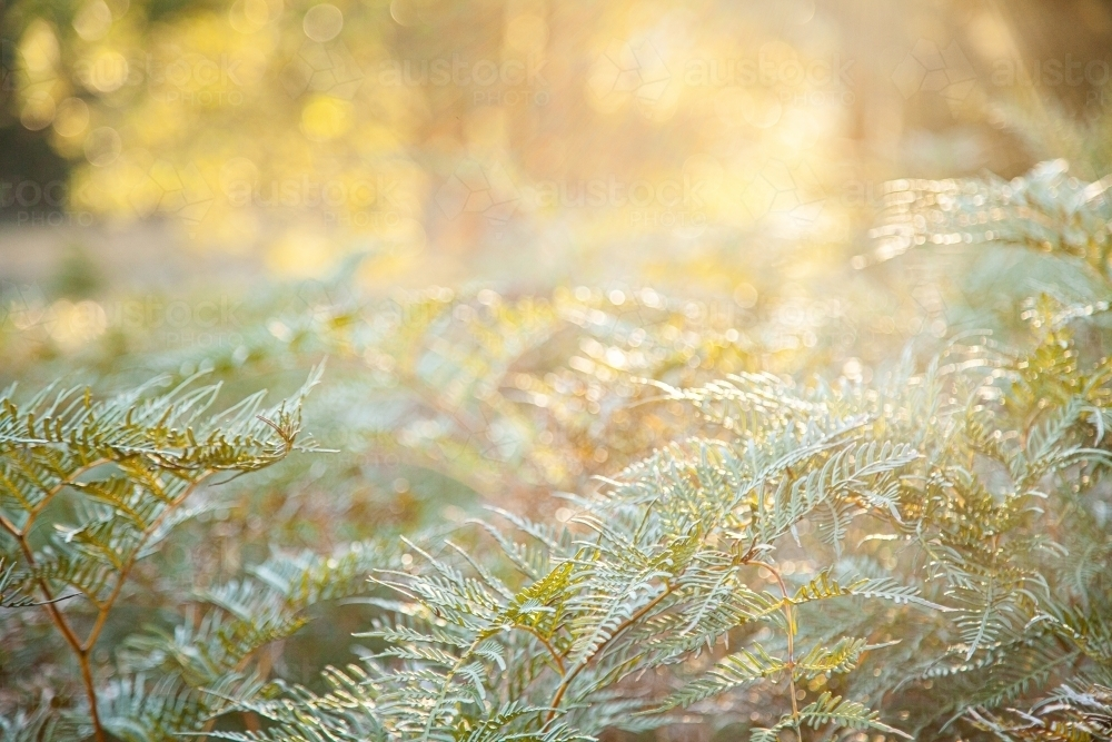 Backlit native ferns and grass in natural bushland - Australian Stock Image