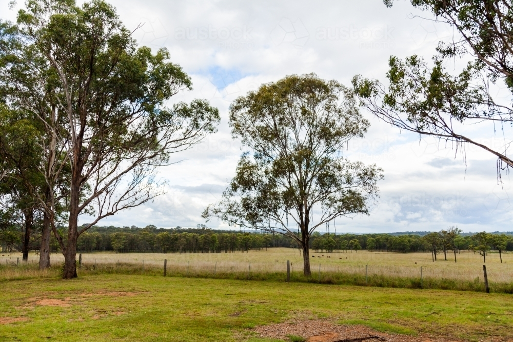Bark hanging down from gum tree branches over fence with cattle in the distance - Australian Stock Image