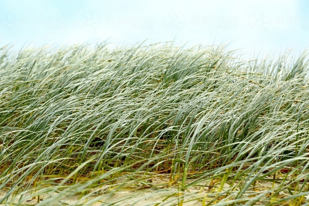 Beach dune grasses waving in the wind at Yamba - Australian Stock Image