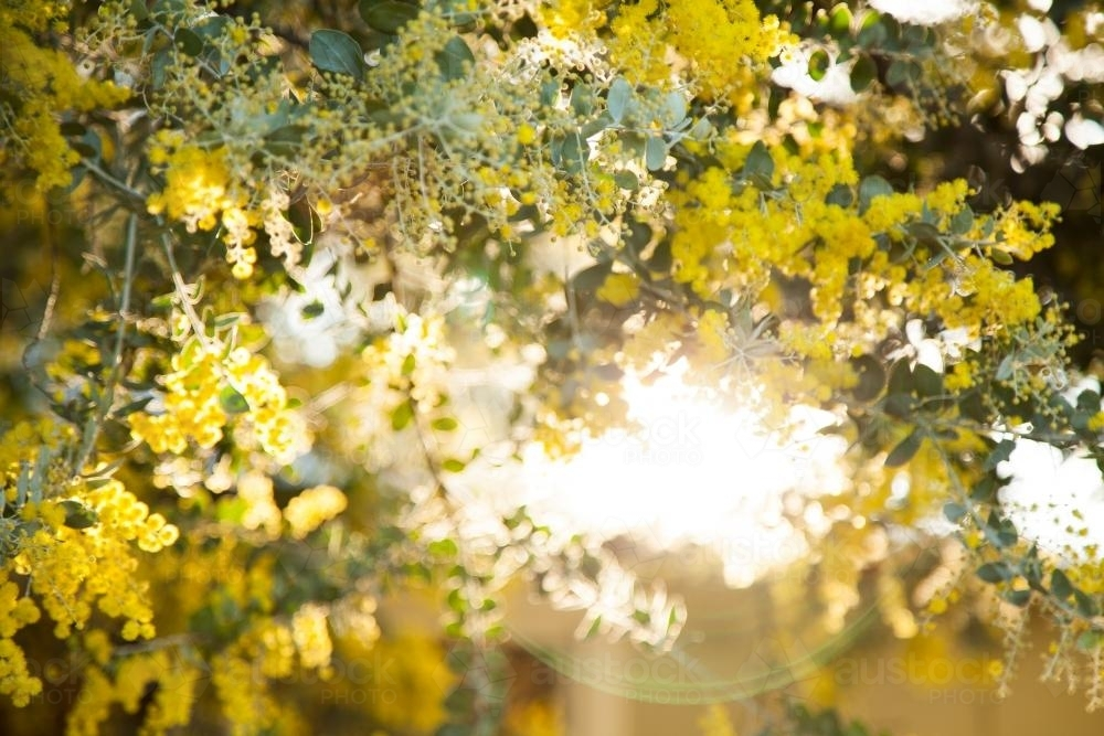 Beautiful blossoms of golden wattle in the afternoon sunlight - Australian Stock Image