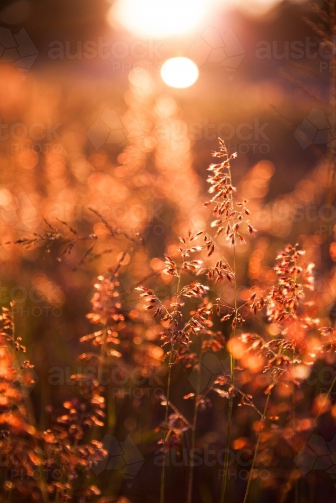 Beautiful pink grass seed heads in the afternoon light - Australian Stock Image