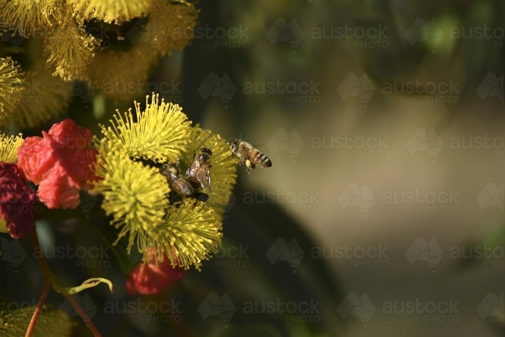 bees gathering pollen from native flower - Australian Stock Image