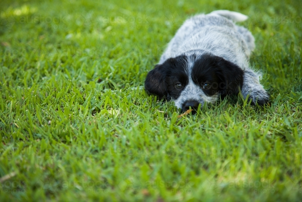 Black and grey cross breed puppy on the green lawn - Australian Stock Image