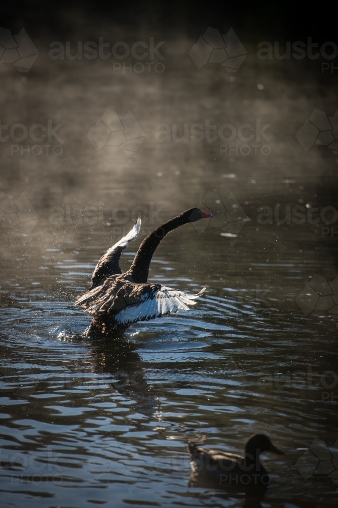 Black swan stretching wings on river water with early morning mist - Australian Stock Image