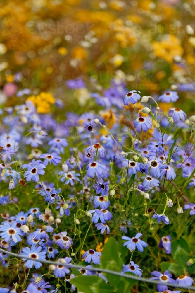 Blue native wildflower in Kings Park, Perth - Australian Stock Image