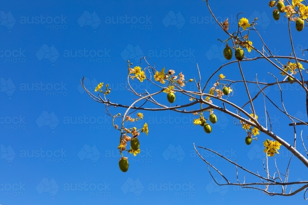 blue sky with kapok tree branches hung with fruits and flowers - Australian Stock Image
