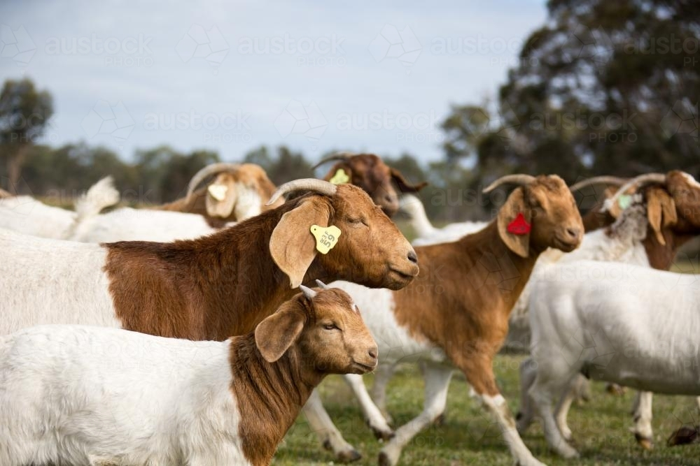 Boer goats with kids on Australian farm - Australian Stock Image
