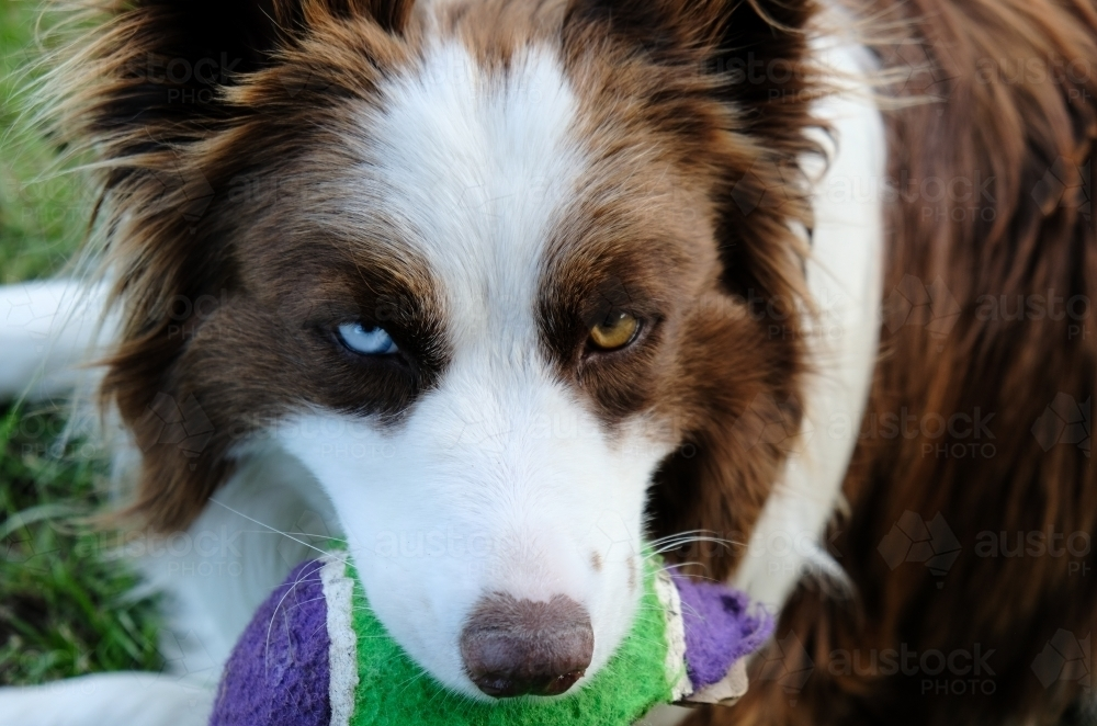 image of border collie with brown and blue eyes austockphoto