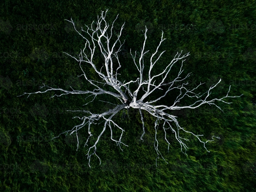 Branches of a dead white tree stark against green grass - Australian Stock Image