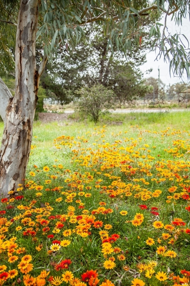Bright red yellow and orange gazania flowers flowering under a gum tree - Australian Stock Image