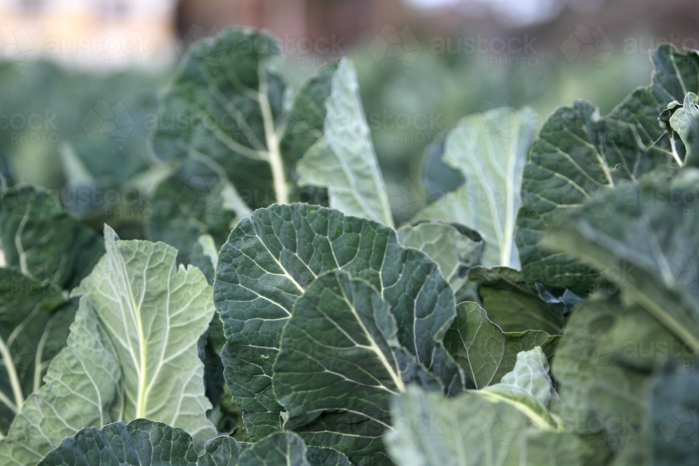 cabbage leaves - Australian Stock Image