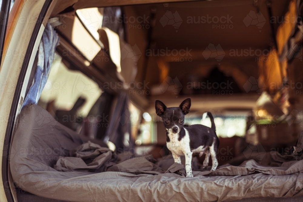 Camping mattress in back of car with dog - Australian Stock Image