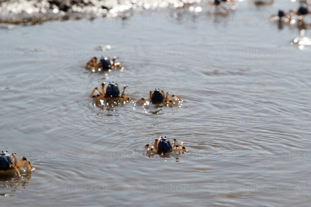 Cast of crabs swimming in water at the beach - Australian Stock Image