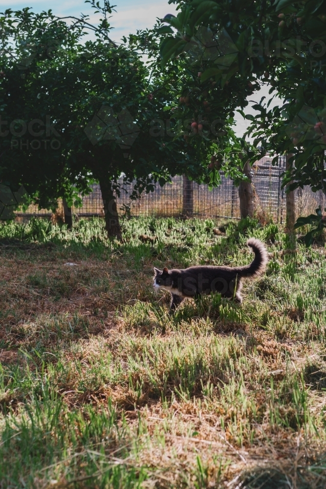 cats on appletrees cat under apple trees australian stock image kalender