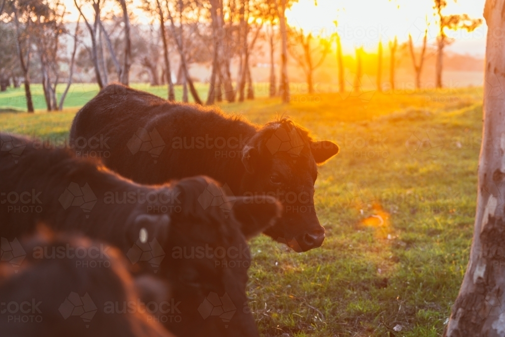 Cattle in field at sunset - Australian Stock Image