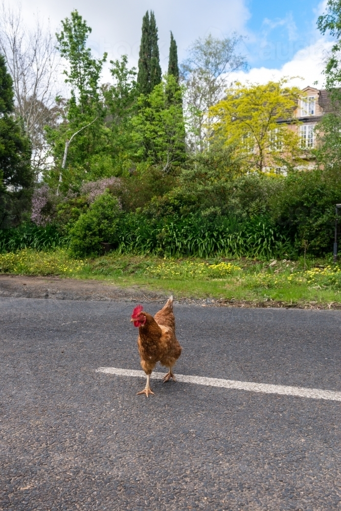 chicken crossing the road - Australian Stock Image