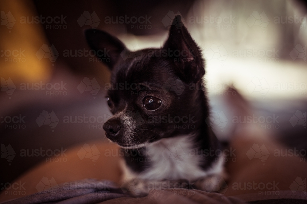 Chihuahua dog close up - Australian Stock Image