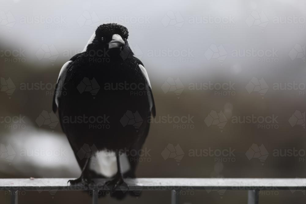 Close up of a Magpie on a fence with copy space - Australian Stock Image