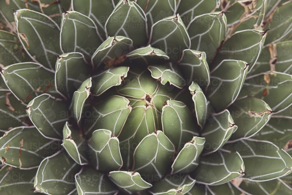 Close up of agave succulent plant - Australian Stock Image