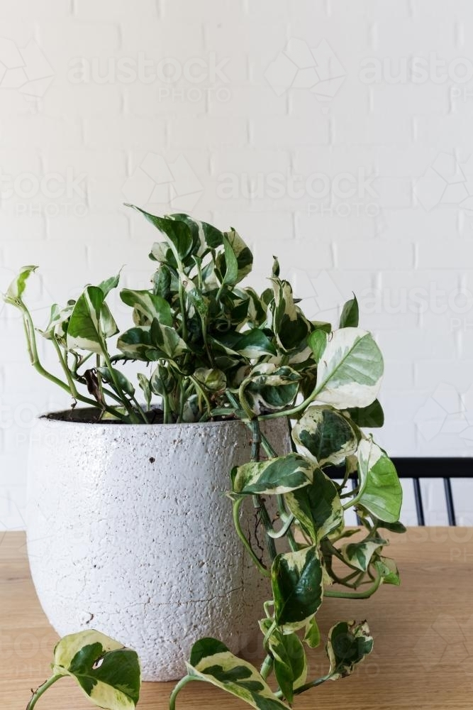 Close up of an indoor pot plant of devil's ivy with space for text - Australian Stock Image