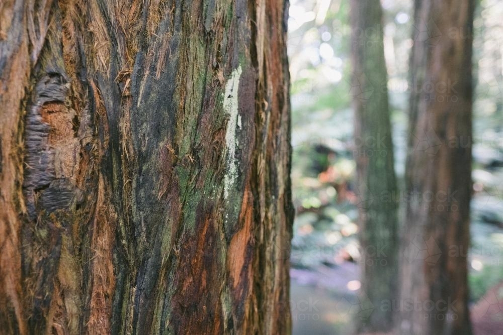 Close up of bark on the trunk of a Californian Redwood tree in Beech Forest - Australian Stock Image