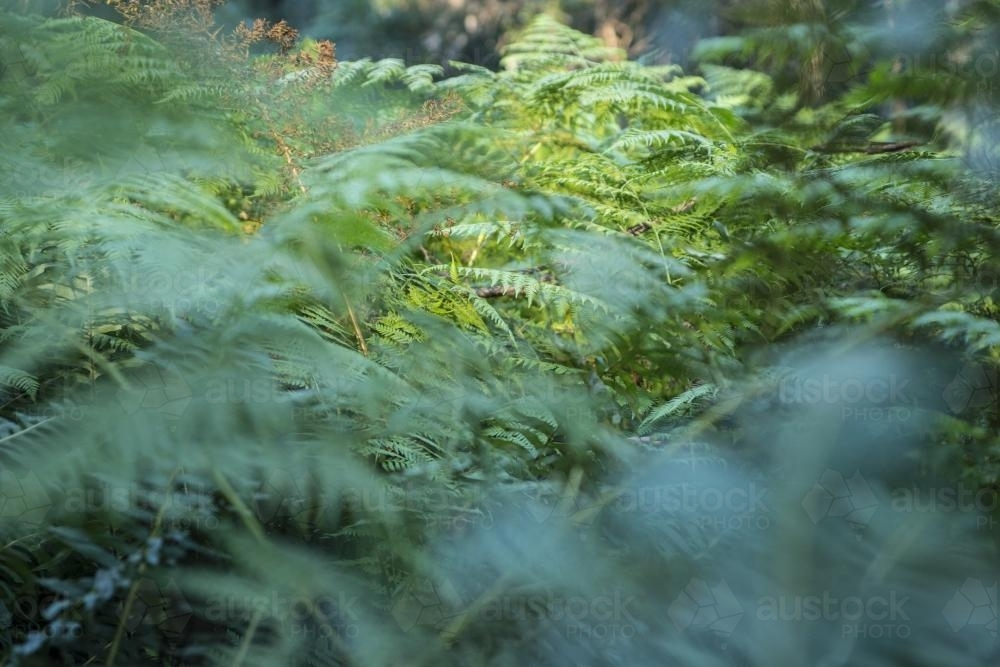 Close up of fern leaves in the undergrowth - Australian Stock Image