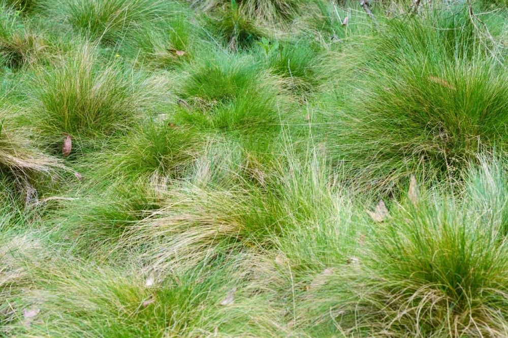 Close up of green subalpine tufts of grass - Australian Stock Image