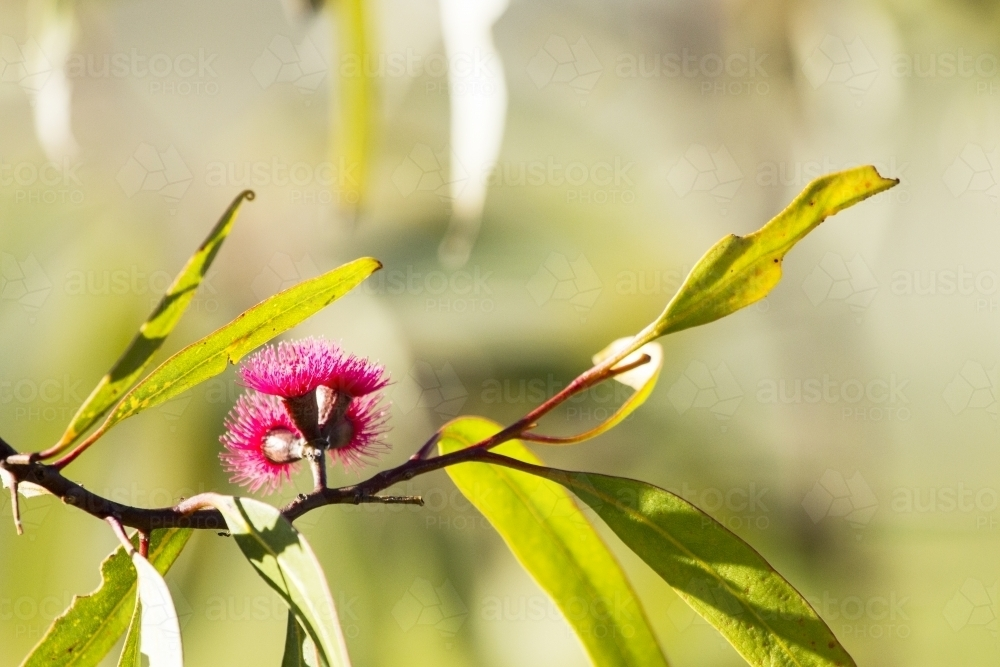 Close up of gum flower and leaves horizontal - Australian Stock Image