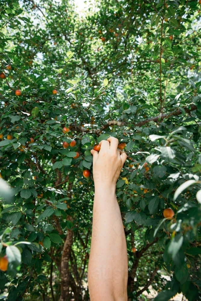 Close up of person hand picking fruit - Australian Stock Image