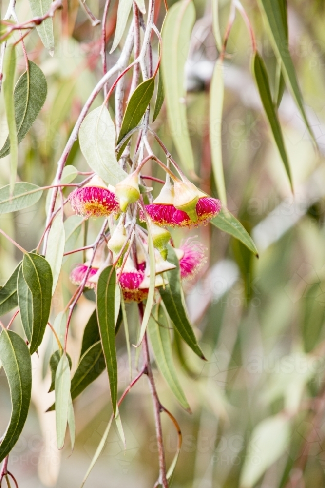 Close up of pink gum flower and leaves vertical - Australian Stock Image