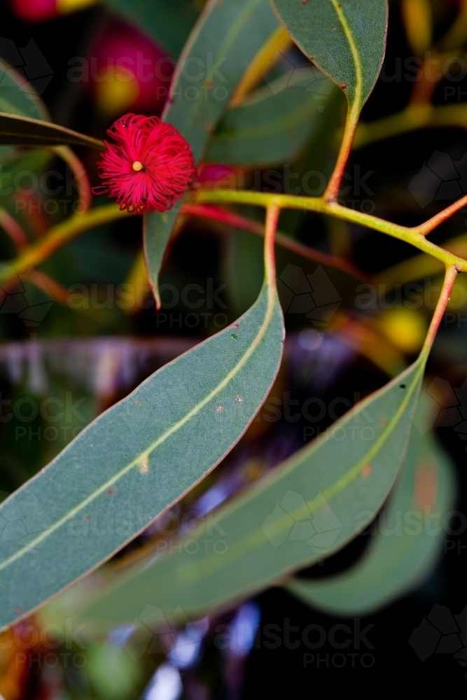 Close up of pink iron bark (eucalyptus) flower bud and leaves - Australian Stock Image