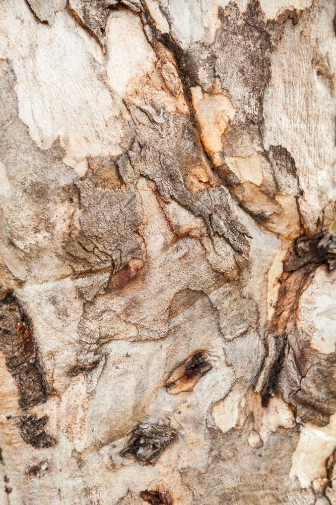 Close up of rough textured bark and trunk of a gum tree - Australian Stock Image